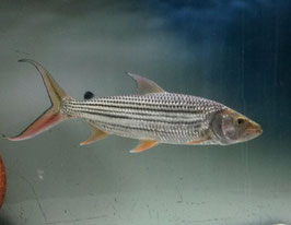 Hydrocynus vittatus, Tigersalmler
