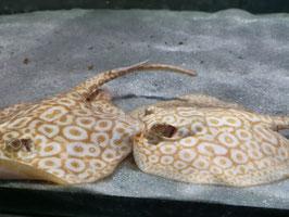 Perlenrochen Albino, Potamotrygon sp. Pearl Albino, Rochen