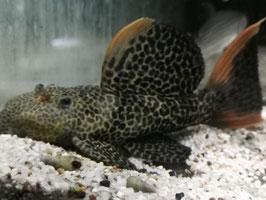 L114 Pseudacanthicus cf. leopardus, Leopard-Kaktuswels
