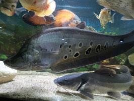 Chitala ornata, Notopterus chitala, Tausenddollarfisch