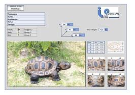 Italespanso Schildkröte