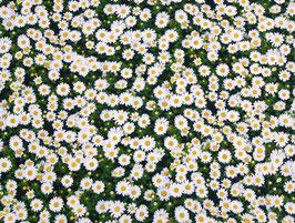 Canvas Gänseblümchen