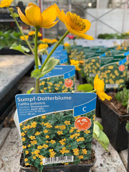 Sumpf- Dotterblume