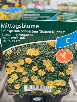 Mittagsblume ´Golden Nugget´