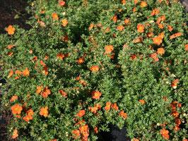 niedriger Fünffingerstrauch orange-rot