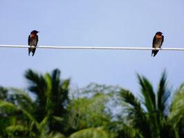 Lipe Birds