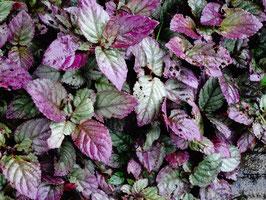 Purple Blätter