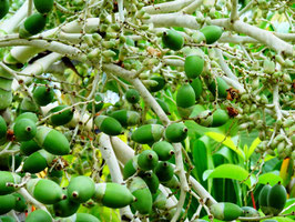 Jamaica nuts