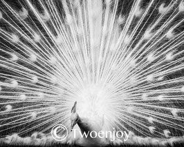 Paon blanc Nouméa