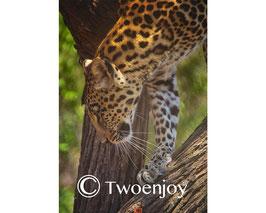 Leopard Afrique du Sud