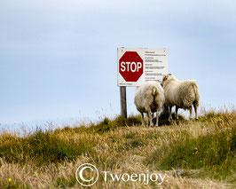 Moutons île de Flatey