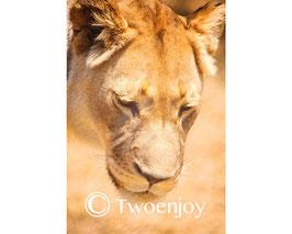 Lionne Afrique du Sud