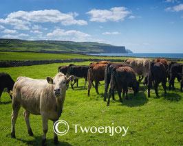 Vaches Irlande