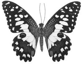 Schmetterling Schwalbenschwanz