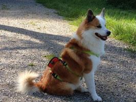 SICHERHEITSGESCHIRR MEDIUM: 25 mm Gurtband Breite für mittelgroße Hunde
