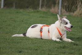 SICHERHEITSGESCHIRR BASIC LARGE: 30 mm Gurtband Breite für mittelgroße Hunde