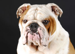 Englische Bulldogge Kuscheldecke