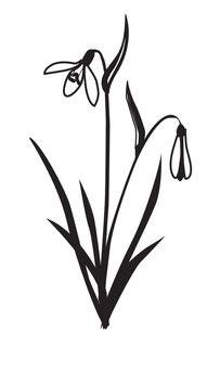 Schneeglöckchen maxi mit Blättern