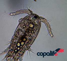 Mariner Copepode Apocyclops panamensis