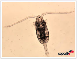 Mariner Copepode Parvocalanus crassirostris