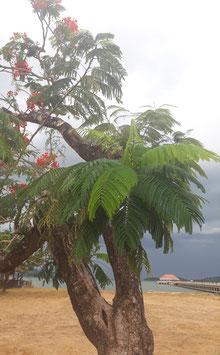 Die Wachstumsgeschwindigkeit von Papayas - Eine Liebeserklärung an die Insel der Götter