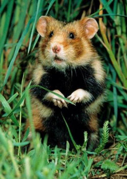 authentic-CARD - Hamster im Gras (3D Karte)