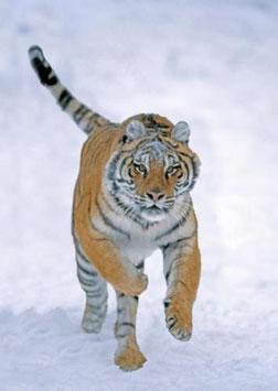 authentic-CARD - Sibirischer Tiger