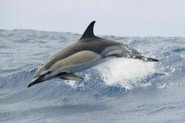 authentic CARD - Delfin