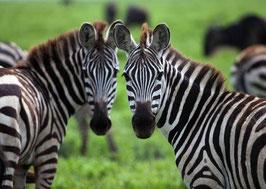 authentic CARD - Zebras