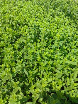 Mentha spicata Maroccan