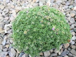 Thymus praecox Pygmaeus (Minor)