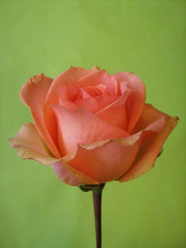 Rose lachs / orange