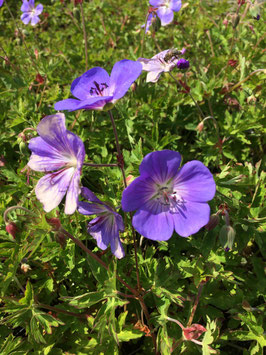 Geranium Rozanne (Jolly Bee)
