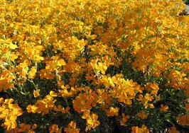 Erysimum linifolium  Orange Flame