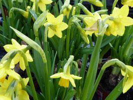 Narcissus cyclamineus Tète à Tète