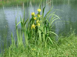 Iris pseudacorus Sulphur Queen