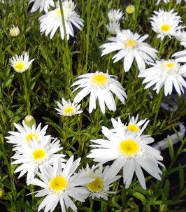 Leucanthemum superbum Christine Hagemann