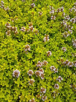 Thymus vulgaris Aurea