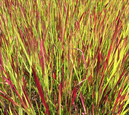 Imperata cylindrica Red Baron