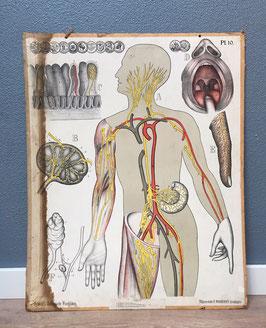 Schoolplaat Dybdahl - Lymfenstelsel