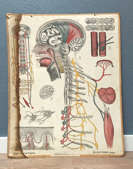 Schoolplaat Dybdahl - Zenuwstelsel