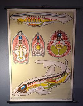 Schoolplaat - Chordadieren en Vissen