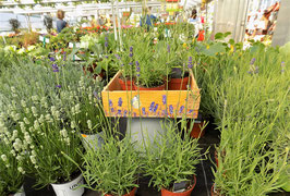 "Pflanzenkiste ""Lavendel"""