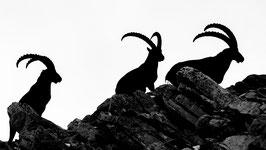 Tirage d'Art | Trio de Bouquetin au sommet