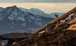 Tirage d'Art | Paysage des Alpes & son Roi Bouquetin