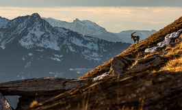 Tirage Classique | Paysage des Alpes & son Roi Bouquetin |