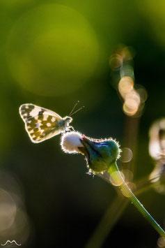 Tirage Classique | Lueurs & Papillon |