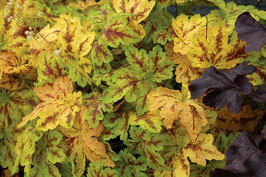 Heucherella Hybride 'Solar Power' ® / Purpurglöckchen