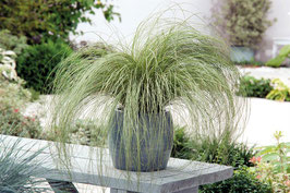 Carex comans 'Amazon Mist' / Neuseeland Segge