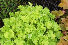 Heuchera Hybride 'Lime Marmalade' ® / Purpurglöckchen